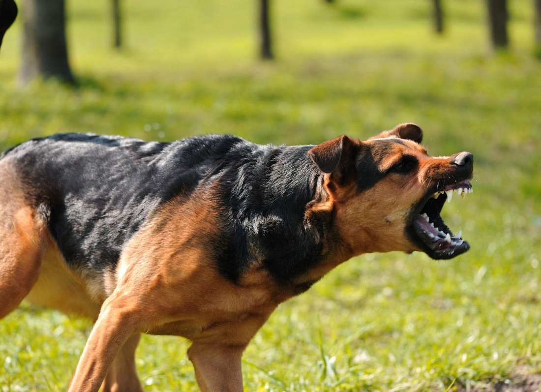 qeni agresiv siguria e femijes kafshe shtepiake